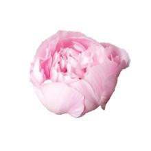 Thumbnail of paeoniae Алерти - Весна в вазе