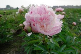 Angel Cheeks Bloom