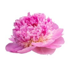 Thumbnail of paeoniae Angel Cheeks - Angel Cheeks, a peony to remember