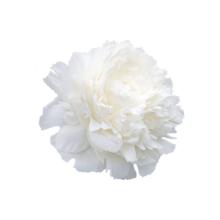 Thumbnail of paeoniae Ann Cousins - Intense fragrance