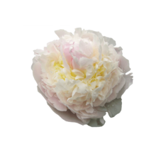 Thumbnail of paeoniae Blush Queen - Pale, pink peony with the ultimate summer vibe
