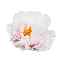 Thumbnail of paeoniae Blushing Princess - Feminine, pink peony with a lovely sweet smell