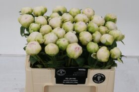 Paeonia Brother Chuck