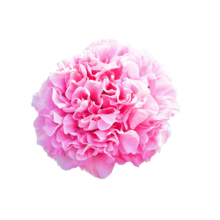 Thumbnail of paeoniae Carnation Bouquet - Ongeëvenaard