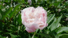 Catharina Fonteyn Bloom