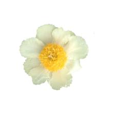 Thumbnail of paeoniae Claire de Lune - Voorjaarsfavoriet