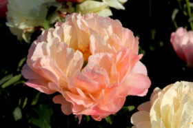 Paeonia Coral Sunset transforming to salmon