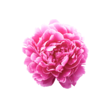 Thumbnail of paeoniae Dr. Alexander Fleming - One of the most popular peonies