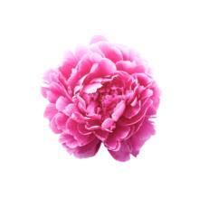 Thumbnail of paeoniae Dr. Alexander Fleming - Een van de populairste pioenen
