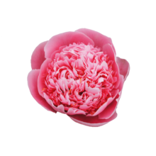 Thumbnail of paeoniae Etched Salmon - Etched Salmon belongs to the most beautiful peonies