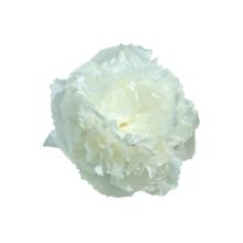 Thumbnail of paeoniae Florence Nicholls - Zoet aroma