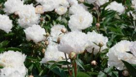 Paeonia Gardenia in field
