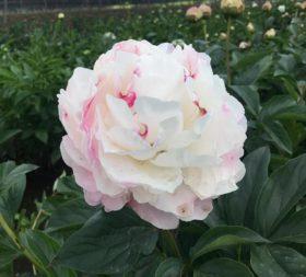 Gardenia in Chille