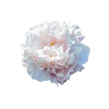 Thumbnail of paeoniae Gardenia - Geurende Gardenia