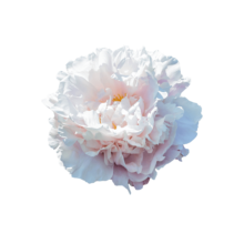 Thumbnail of paeoniae Gardenia - Fragrant peony