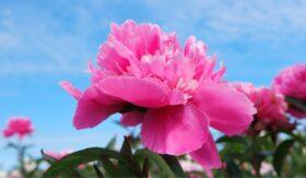 Roze pioenroos in het veld