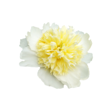 Thumbnail of paeoniae Honey Gold - White peony with yellow center, nicknamed 'fried egg'