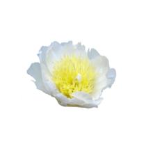 Thumbnail of paeoniae Honey Gold - Witte pioen met gele kern, ook wel 'spiegelei' genoemd.