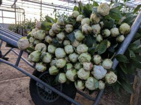 Paeonia White Bowl of Cream
