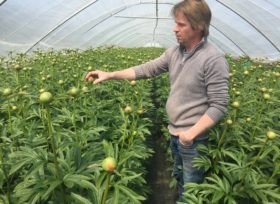 Growing Coral Charm peonies in the tunnel