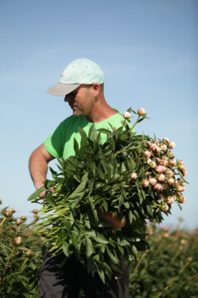 Peony grower with his arm full pink peonies.