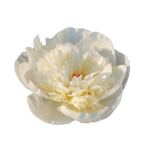 Thumbnail of paeoniae Immaculee - White, cute peony with soft, pink blush