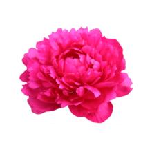 Thumbnail of paeoniae Kansas - Niet rood maar fuchsia