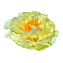 Thumbnail of paeoniae Lemon Chiffon - Dubbel bijzonder