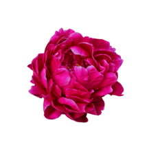 Thumbnail of paeoniae Луи ван Гутте - Удивительный цвет