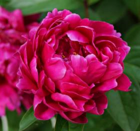 Louis van Houten paarse pioenen
