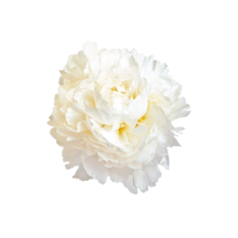 Thumbnail of paeoniae Madame Claude Tain - The whitest peony