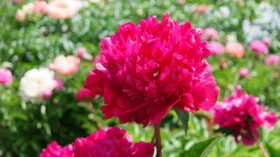 Many Happy Returns full bloom