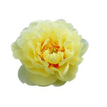 Thumbnail of paeoniae Bartzella - Prachtig geel