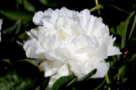 Paeonia ClaudeTain