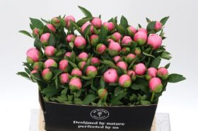 Paeonia Etched Salmon