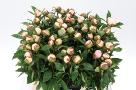 Paeonia Immaculee