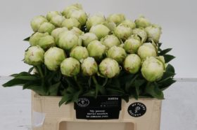 Paeonia Ivory Victory