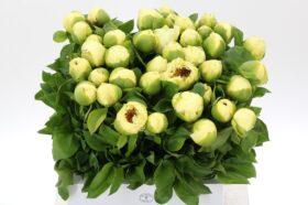 Paeonia Lemon Chiffon