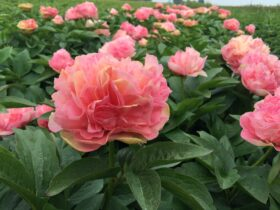 Paeonia Lois Choice in the field
