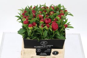 Paeonia Red Grace