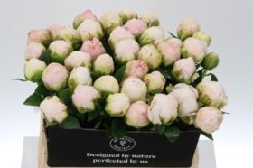 Paeonia Mother Choice