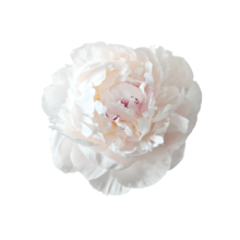 Thumbnail of paeoniae Odile - Stevige, witte bloemen met zachte, lila kern.