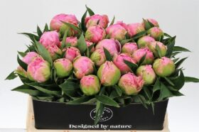 Paeonia Pink Giant