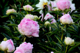 Paeonia Pink Giant .
