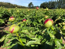 Paeonia Red Charm in the field