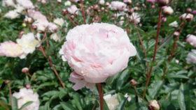 Paeonia Reine Hortense