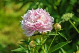 Paeonia Sarah Bernhardt in the field