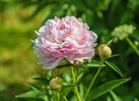 Paeonia Sarah Bernhardt in the field