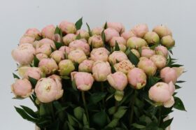 Paeonia Summerglow