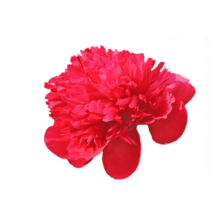 Thumbnail of paeoniae Diana Parks - Fragant, dramatic peony with a rose shape